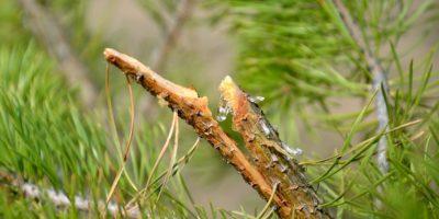 Миниатюра к статье Живица кедровая – живая кровь растений для нашего здоровья