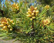 Миниатюра к статье Сосновые шишки - полезные свойства и целебные рецепты применения