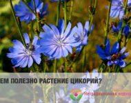 Миниатюра к статье Цикорий обыкновенный - удивительное растение с уникальными свойствами