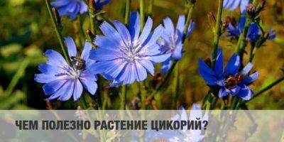 Миниатюра к статье Цикорий обыкновенный – удивительное растение с уникальными свойствами